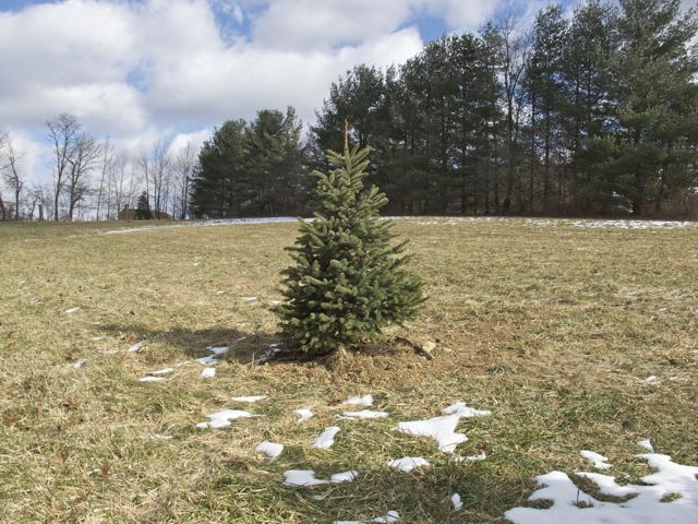 2009-christmas-tree-planted