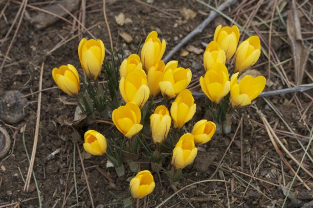all-from-one-giant-yellow-crocus