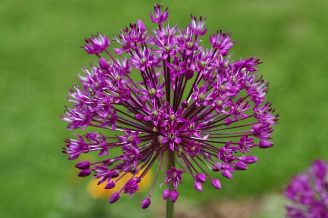 allium-hollandicum-purple-sensation_0