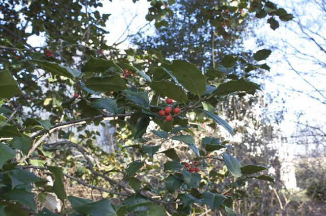 american-holly-berries