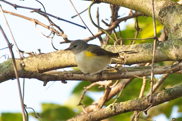 american-redstart-female