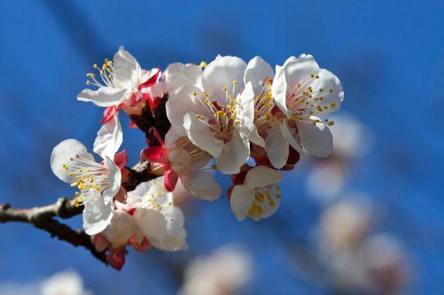 apricot-blossoms_0