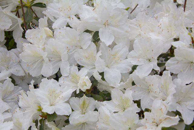 awash-in-azaleas