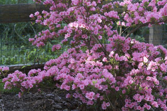 azalea-coral-bells
