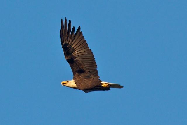 bald-eagle_0
