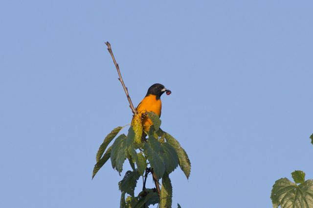 baltimore-oriole-flying-1