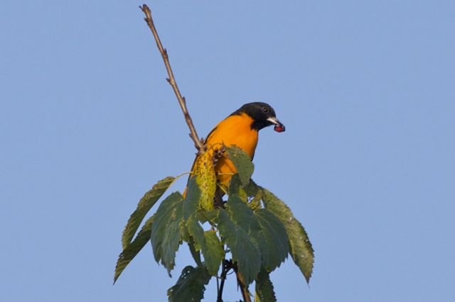 baltimore-oriole-flying-2