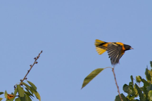 baltimore-oriole-flying-4