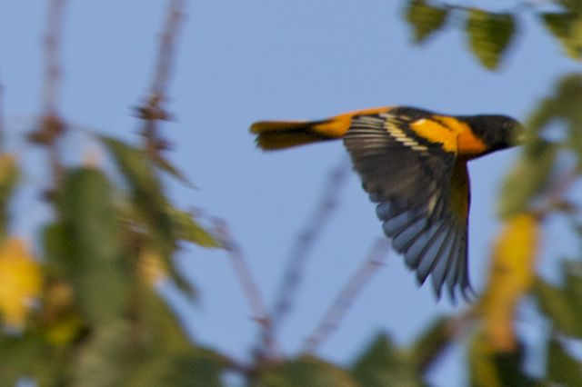 baltimore-oriole-flying-5