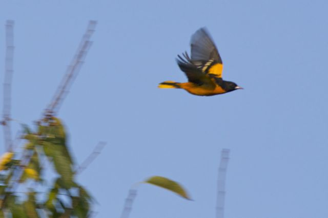 baltimore-oriole-flying-6