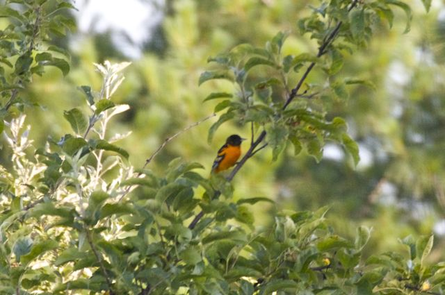 baltimore-oriole-in-the-apple-tree_0