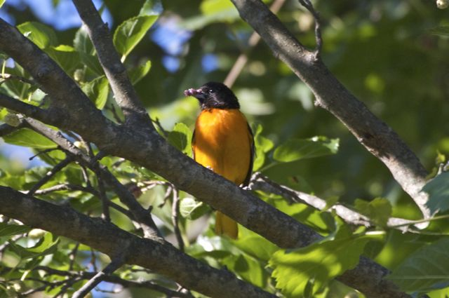 baltimore-oriole-mulberry-breakfast