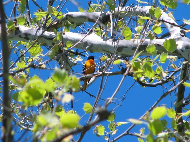 baltimore-oriole_2