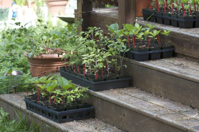 basement-seedlings-ready-to-go-in-the-garden