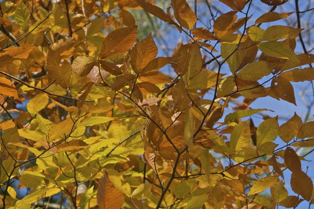 beech-leaves-2
