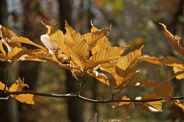 beech-leaves_0
