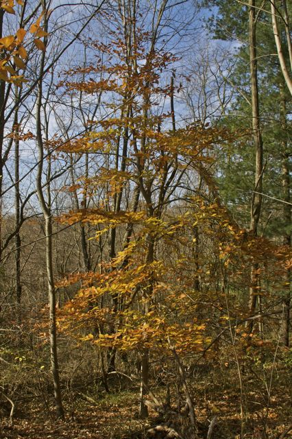 beech-tree-in-fall
