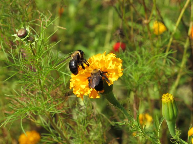 bees-on-marigold