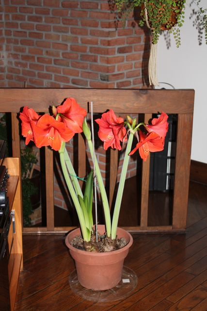 big-amaryllis