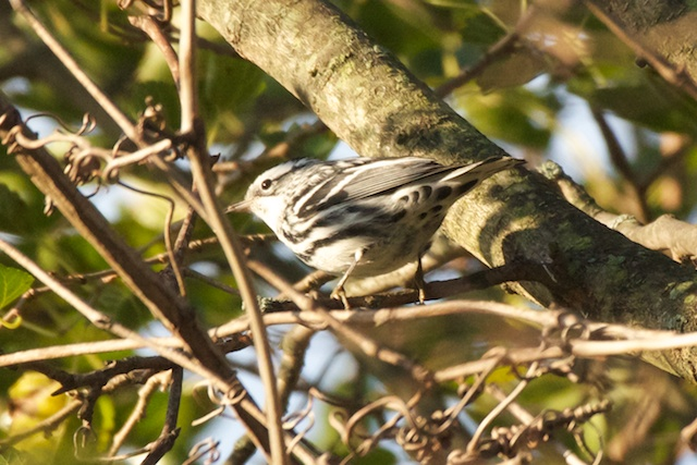 black-and-white-warbler-1_0