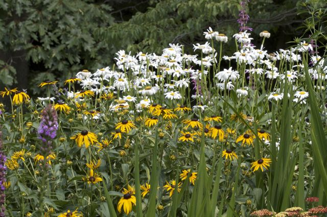 black-eyed-susans-with-shasta-daisies