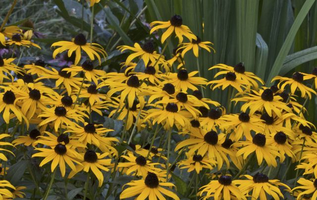 black-eyed-susans_0