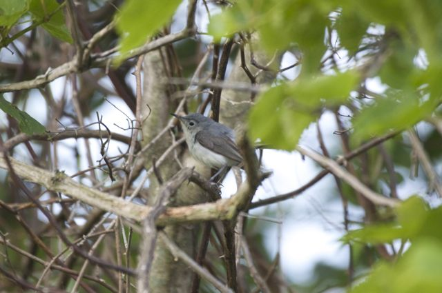 blue-gray-gnatcatcher_0