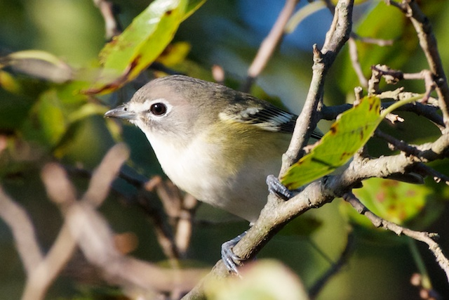 blue-headed-vireo-2