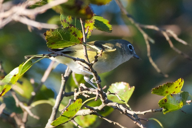blue-headed-vireo_0