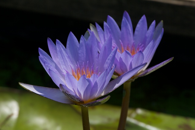 blue-waterlily-with-yellow-center