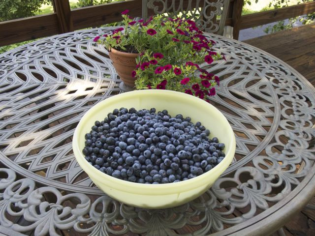 blueberry-pickings