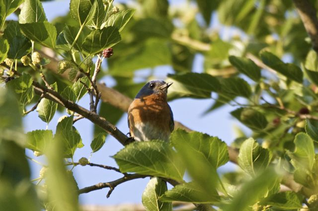 Bluebird in Mulberry Tree