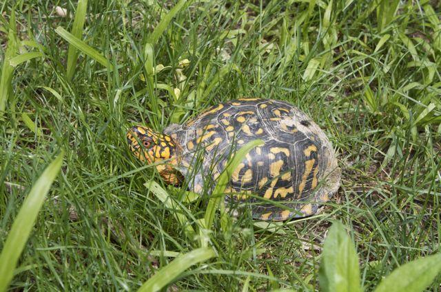 box-turtle_0