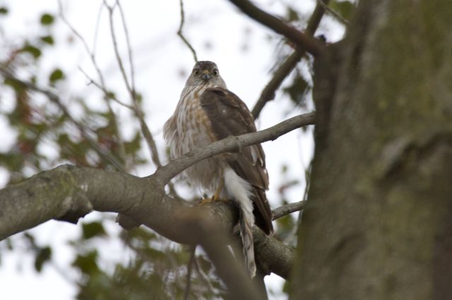 broad-winged-hawk-looking-back