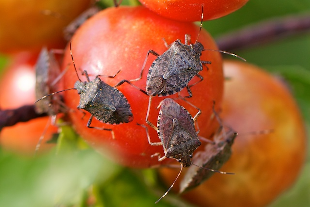 brown-marmorated-stink-bug