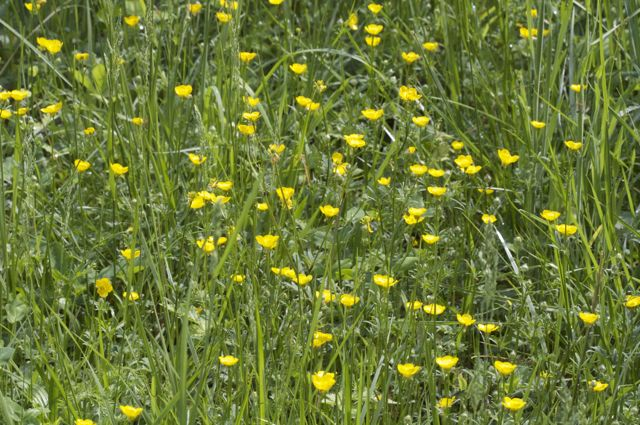 buttercups-in-the-pasture