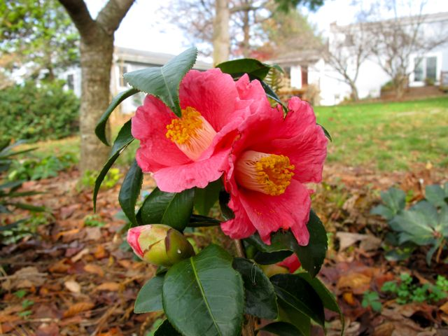 camellia-japonica-spring-promise