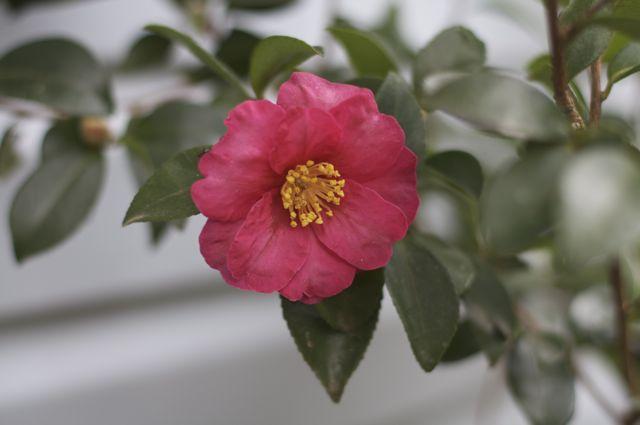 camellia-sasanqua-red-flower