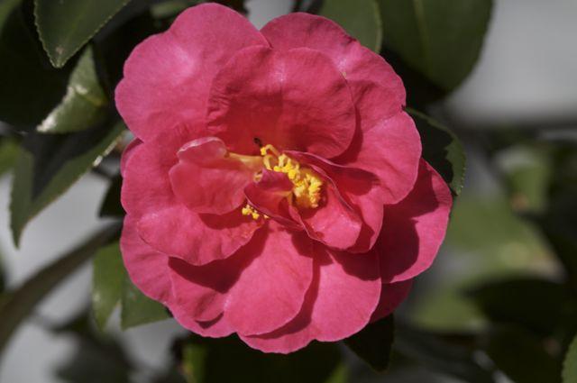 camellia-sasanqua_0