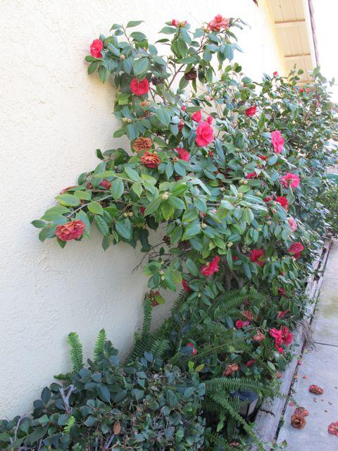 camellia-wall