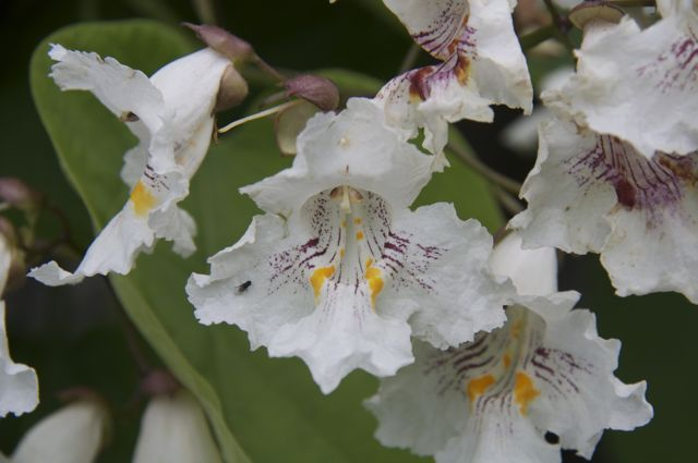 catalpa-flowers