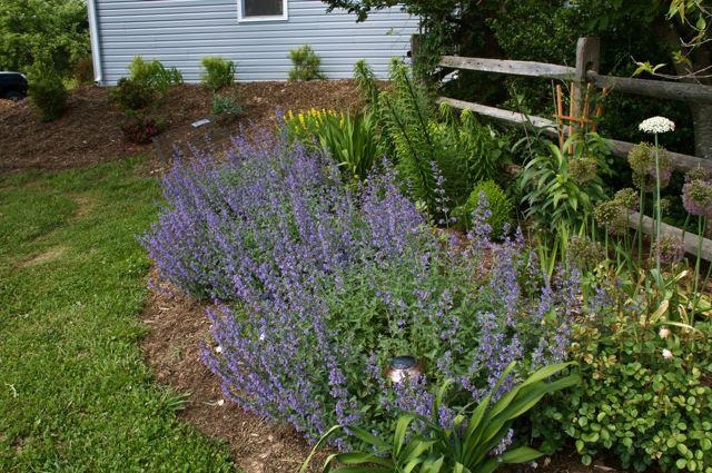 catmint-garden