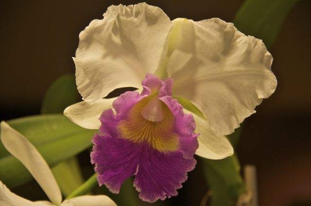 cattleya-orchid-in-the-kitchen