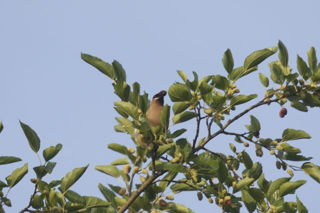 cedar-waxwing-with-mulberry