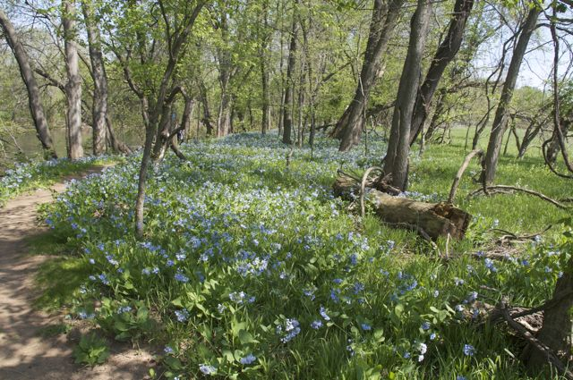 celebrating-bluebells-on-the-monocacy