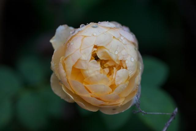 charles-darwin-rose-1