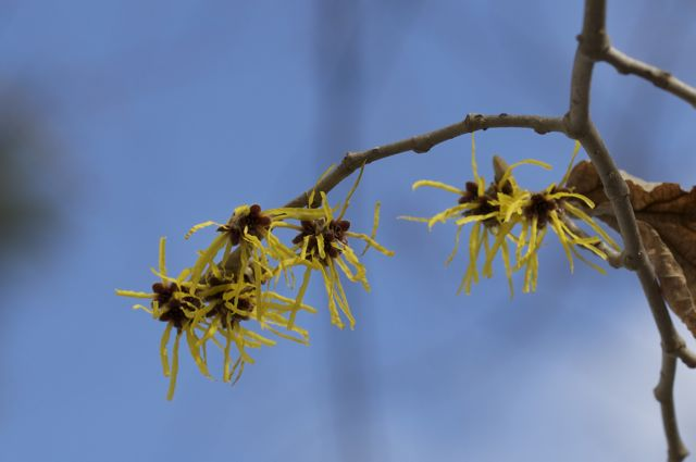 chinese-witch-hazel-agains-the-blue-sky