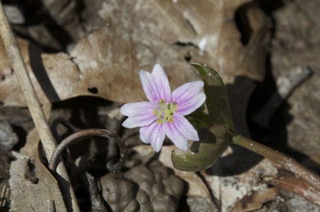 claytonia-siberica