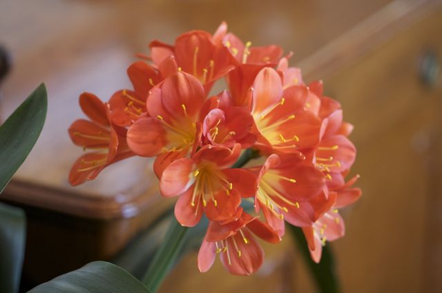 clivia-is-fully-open