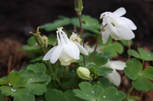 columbine-cameo-white